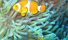Like Nemo, Clownfish Travel Long Distances