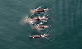 Video: World-First Footage of Killer Whales Captured by Drone