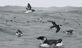 Arctic Seabirds Adapt to Warming Temperatures