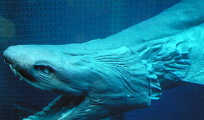 Rarely Seen Frilled Shark Horrifies Fishermen