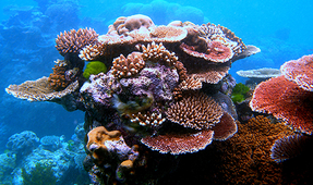 Multiple Copies of Genes Found to Control Coral Color Diversity