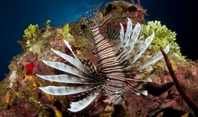Hurricanes Spread Lionfish in Caribbean
