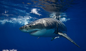 Australia Not Reviewing Great White Shark Killing Policy