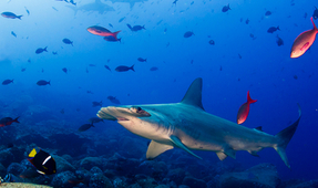American Airlines to Stop Transporting Shark Fins