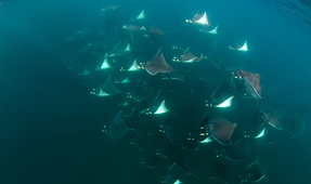 Amazing Underwater Encounter with Mobula Rays