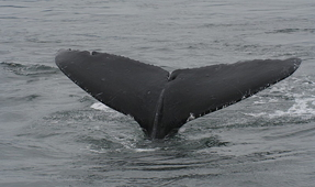 Study Aims to Help Whales Escape Fishing Nets