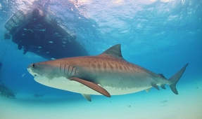 The Bird-Like Migration Patterns of Tiger Sharks