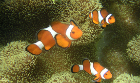 New Study: GBR Anemone and Clownfish Numbers Are Low