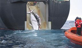 Возобновить охоту китов в Антарктике в конце года планирует Япония