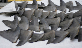 Texas Bans Shark Fin Trade