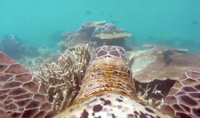 Get a Turtle Eye's View of the Great Barrier Reef