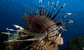 Cannibal Lionfish Signals Lack of Prey