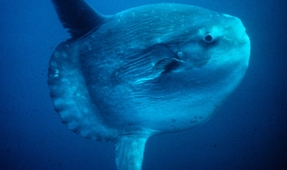 Mola Mola Moving North in the Pacific