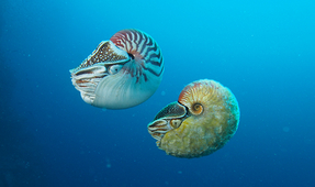 Rare Nautilus Spotted for the First Time in Over 30 Years