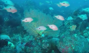 Newly Discovered Reef Rivals Australia's GBR