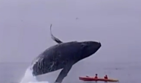 Video: Jumping Humpback Whale Lands on Kayakers