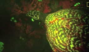 Scientists Discover Glowing Sea Turtle