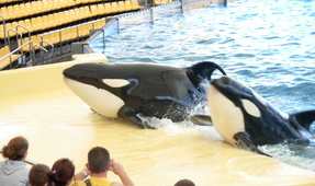 SeaWorld Banned from Breeding Orcas in California