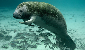 Florida's Manatee Rules to Stay the Same