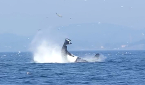 Video: Killer Whale Flings Harbor Seal into the Air