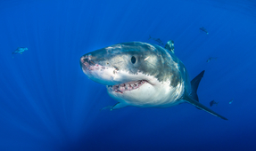 Sharks May Attack Tattooed Swimmers More
