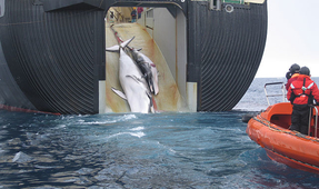 Japan Continues Whale Hunting, Despite Ban