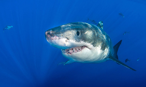 Great White Shark in Captivity in Japanese Aquarium Dies