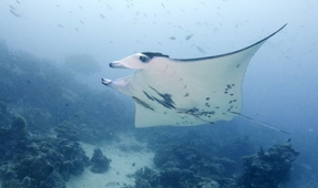 Peru Bans Manta Ray Fishing