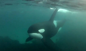 Video: Swimming with Arctic Orcas