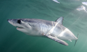Study: Shark Habitat Overlaps with Fishing Locations