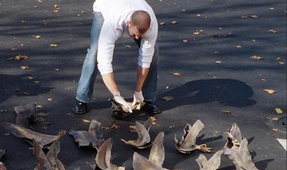 Shark Fin Sales in China Drop by 70 Percent