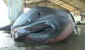 Rare Megamouth Shark Caught off of Japan