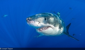 Famous Great White Returns to U.S. East Coast