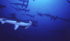 Scientists Discover Hammerhead Shark Nursery in Fiji