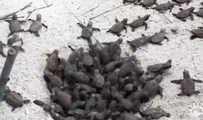 Watch: Turtle Hatchlings Emerging from Their Nest at Siladen Resort