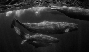 Explorers Club Lecture on Sperm Whales by Wade and Robyn Hughes