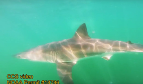 Cape Cod Beaches Closed After Great White Feeding