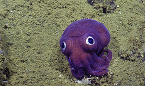 """Googly-Eyed"" Squid Spotted by Scientists on the Sea Floor"