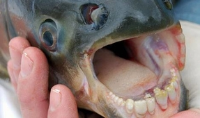 Piranhas Discovered in North American Great Lakes
