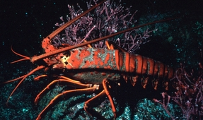 Maine Lobster Industry Threatened by Warming Ocean