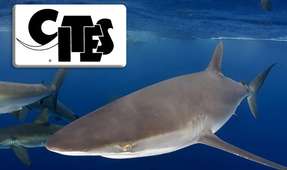 Sharks and Rays Receive Protection at CITES