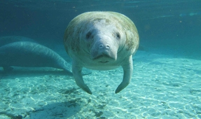 Manatee in Massachusetts Returned to Florida Home