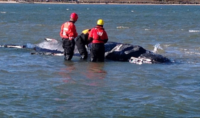 Veterinarians Euthanize Humpback Stranded in New York Waters