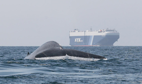 New Forecasting Model Helps Ships Avoid Collisions with Blue Whales