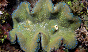 Chinese Province Moves to End Giant Clam Poaching