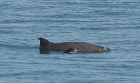 Vaquita Porpoise on Brink of Extinction