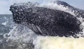 Watch: Viral Video of Humpback Breeching Next to Fishing Boat