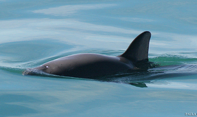 Trained Dolphins to Help Save Wild Vaquita Porpoises