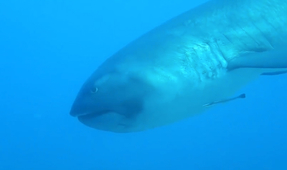 Watch: Rare Megamouth Shark Filmed off Komodo Island