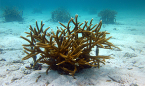 Study: Coral Gardening Is Working in the Caribbean